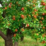 Apples on an an apple tree