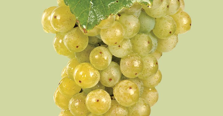 An image of Cayuga Grapes