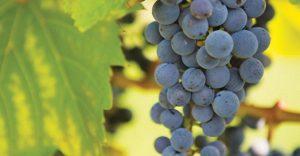 An image of Frontenac Grapes