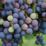 Up and Coming: Ten Grape Varieties Take Root in the Hudson Valley