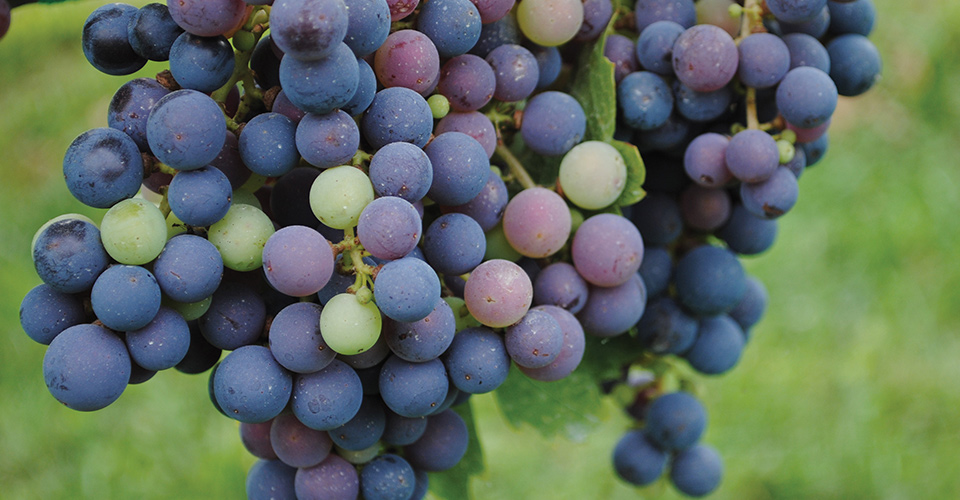 close up of Grape bunch from Millbrook Winery