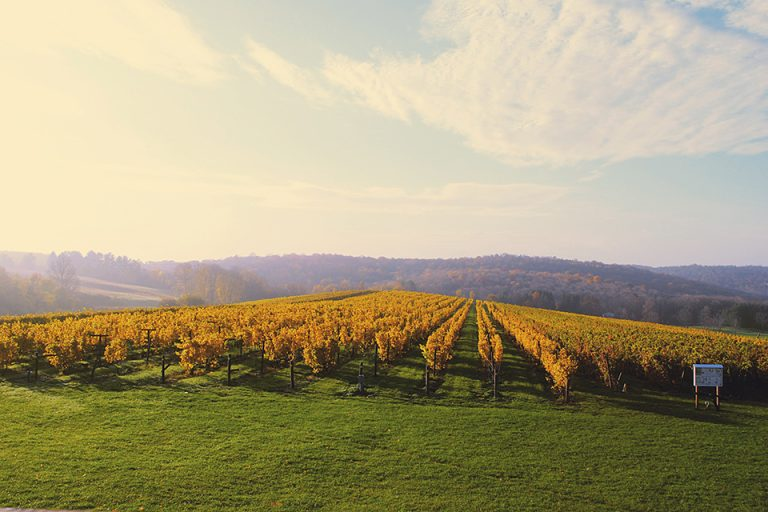 Landscape of grape vineyards at Millbrook Winery, with fall colors.