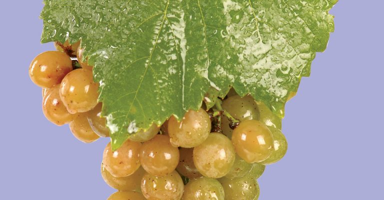 An image of Traminette Grapes