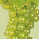 An image of Vidal Blanc grapes