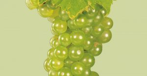 An image of Vidal Blanc grapes