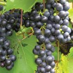 Bunches of Baco Noir grape hanging on the vine