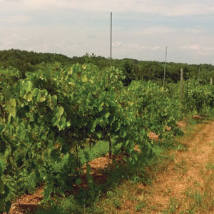 vineyard of Frontnac grapes at Brookview Station Winery