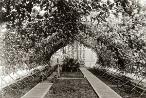 grapes growing in the grapery section of the Lyndhurst conservatory, circa 1880s