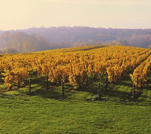 fall foliage view of cabernet franc vineyard at Millbrook Vineyards & Winery