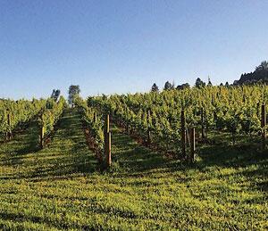 view of vineyards at Nostrano Vineyards