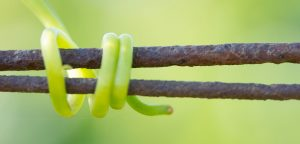 Grape vine tendril wrapped around two branches