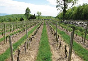photo of vineyards at Glorie Farm Winery