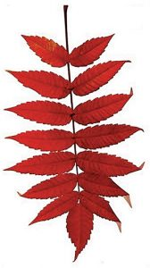 silhouette photo of red sumac leaf