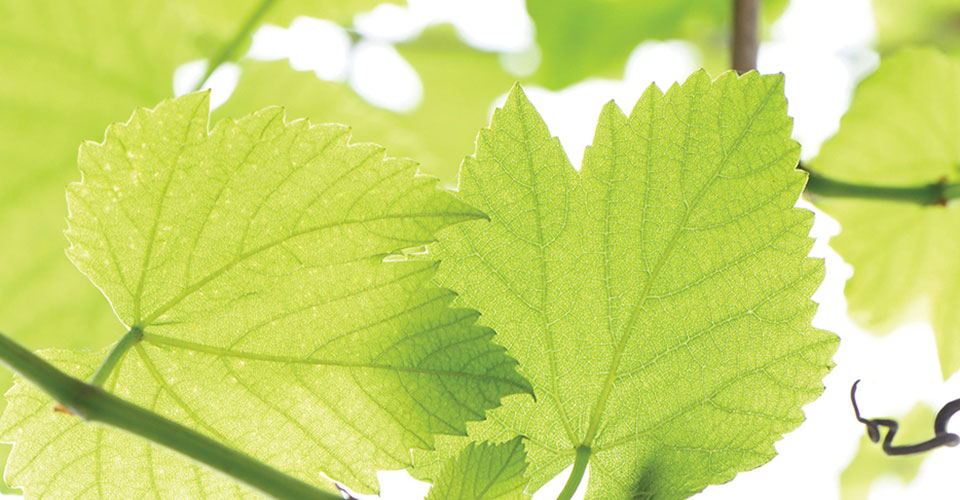 Closeup of green grape leaves from underneath
