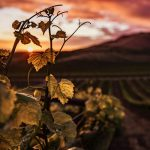 View of a Tuscan vineyard at sunset, with grape vine in foreground.