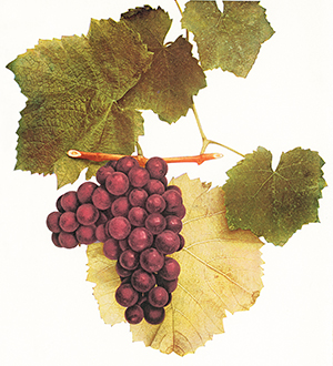 vintage color illustration of Walter grape bunch and leaves