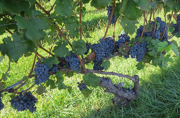 cabernet franc grapes ripening on the vine