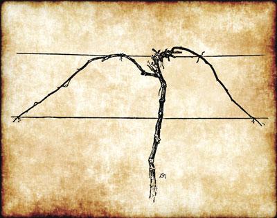 illustration of vine on a trellis