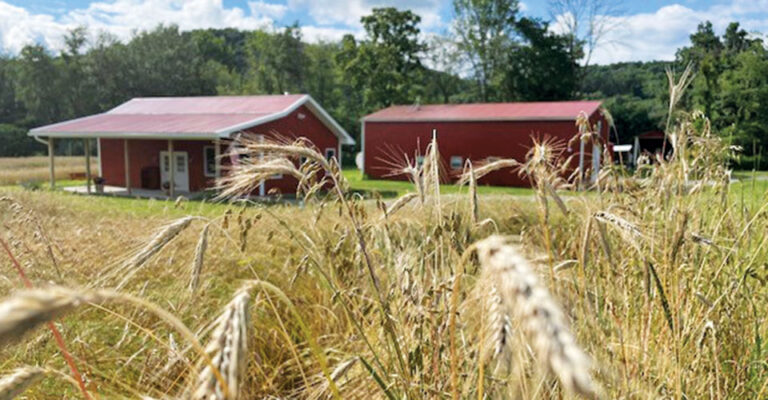 closeup of rye grass with red barns in background